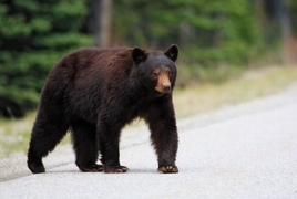 Celebrity Armenian bear relocated, LA officials say